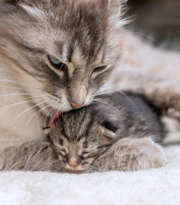 Une chatte qui lave son petit chaton tout en le tenant entre ses pattes. Cette image représente l'empathie. Clinique vétérinaire Lachine