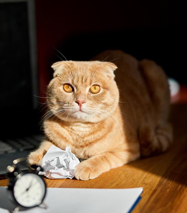 Chat couchée sur un bureau ensoleillé avec une boule de papier. Cette image représente l'éthique de travail. Clinique vétérinaire Lachine
