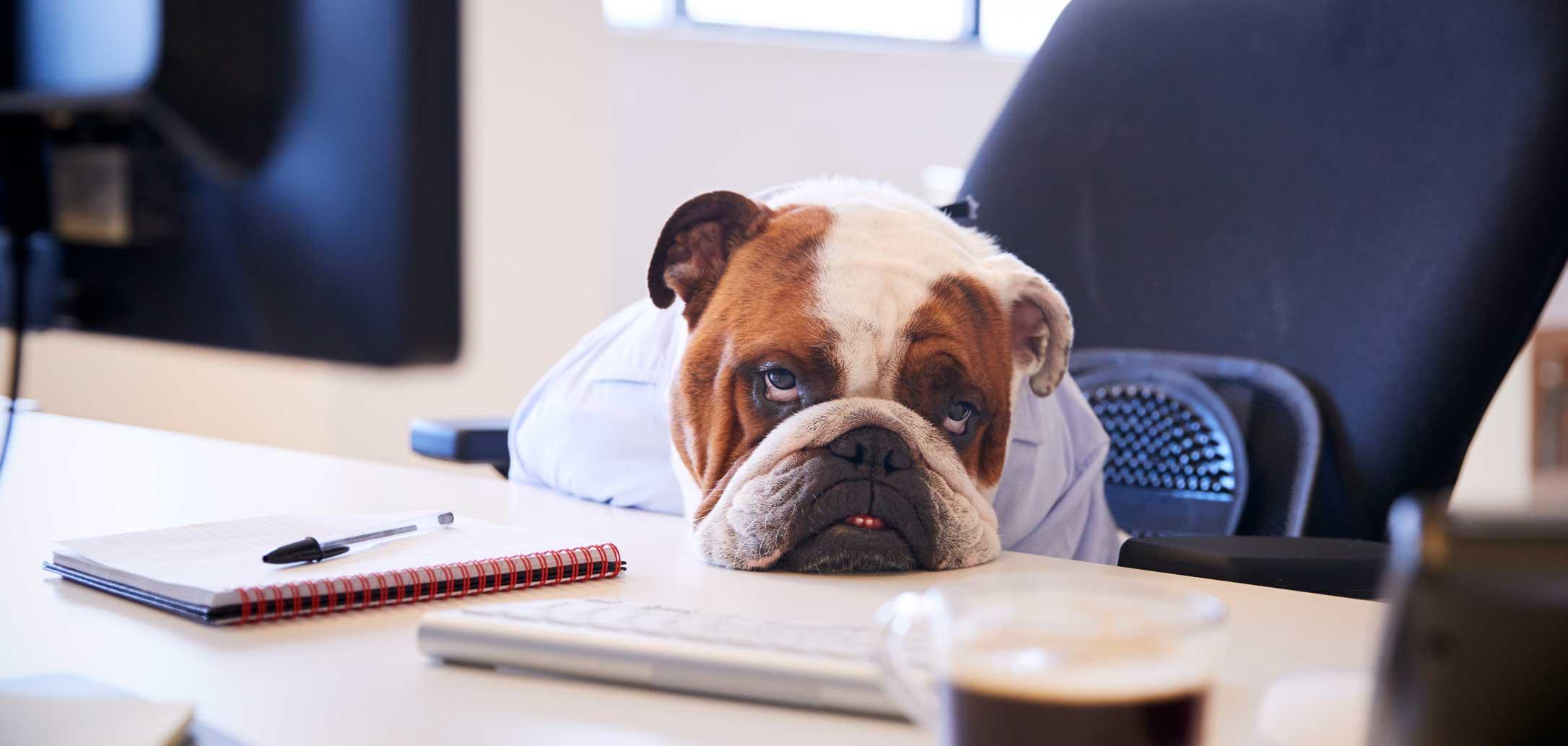 Drôle de Chien dans un bureau assis sur une chaise avec la tête qui repose sur le bureau avec un air découragé. Clinique vétérinaire Lachine