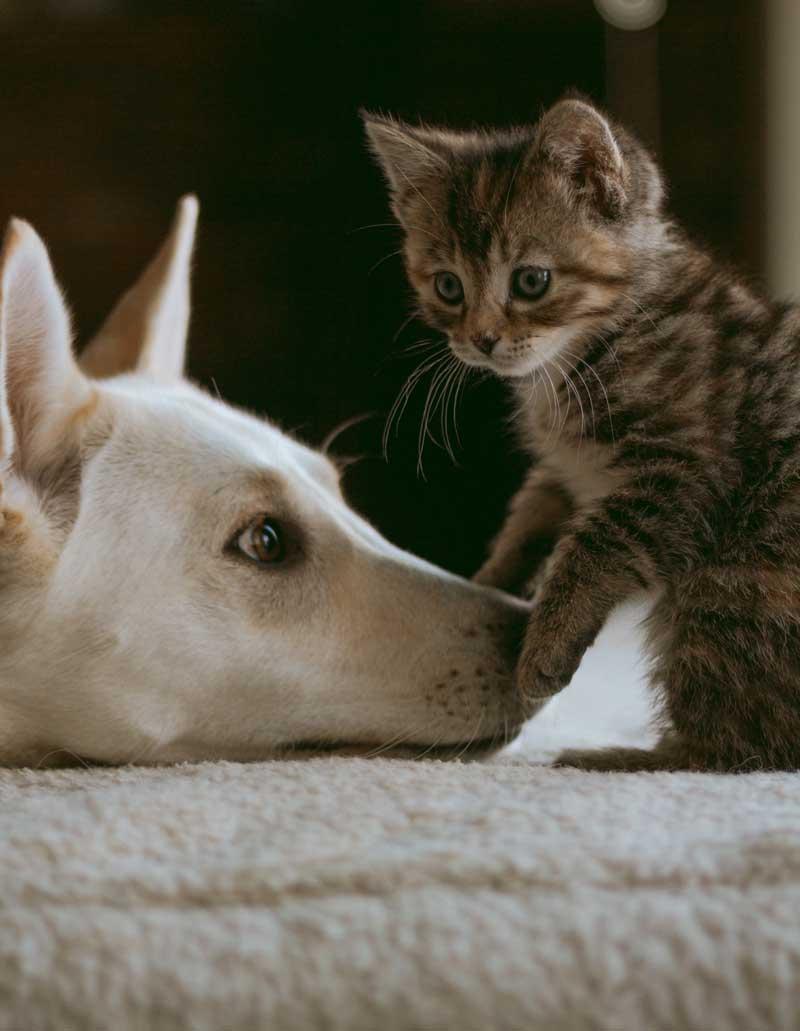 Un chaton et un chien. Clinique vétérinaire Lachine