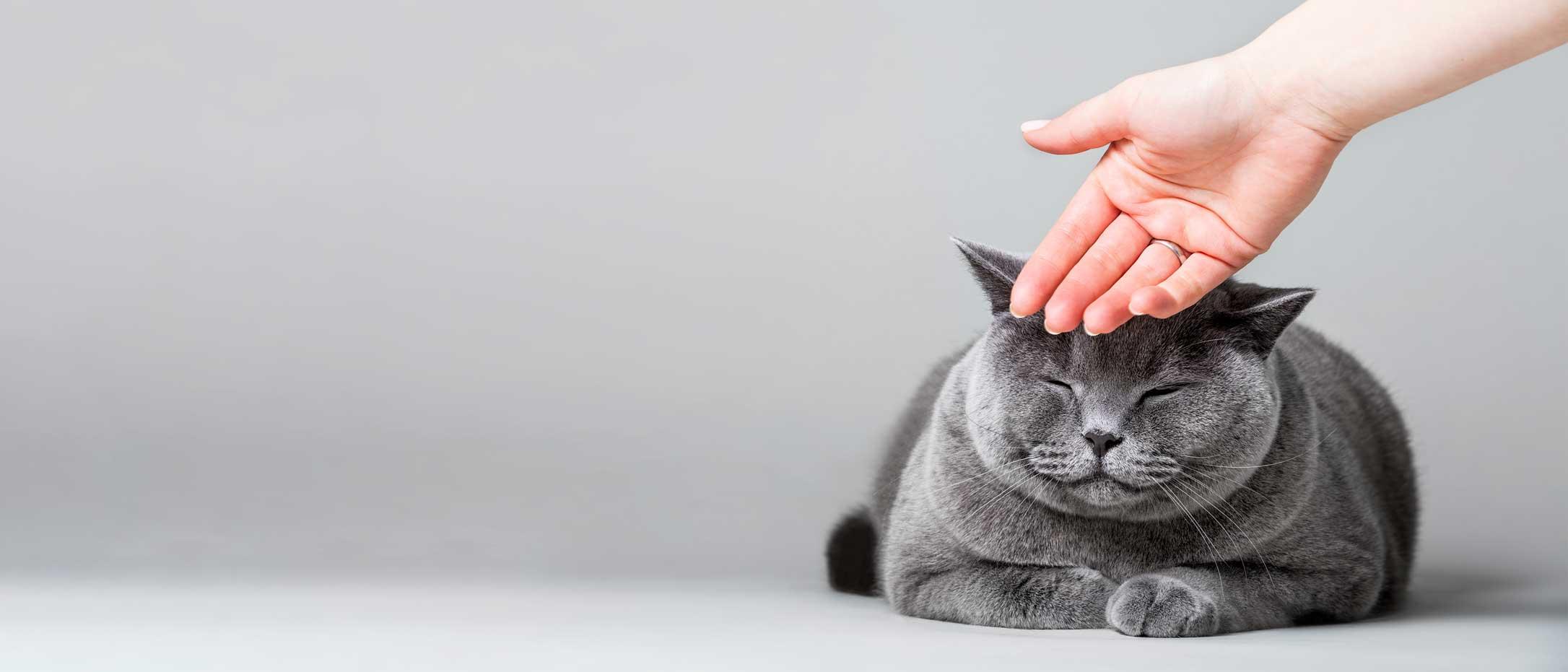 Un gros chat gris avec les yeux fermés se faisant flatter la tête et qui semble afficher un sourire. Clinique vétérinaire Lachine