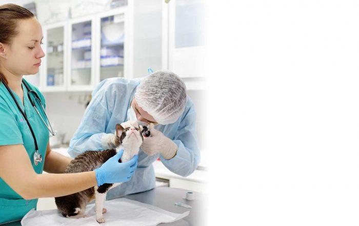 Vétérinaire qui prépare une prescription. Clinique vétérinaire Lachine Vétirinaire et une technicienne en santé animale examinant un chat. Clinique vétérinaire Lachine