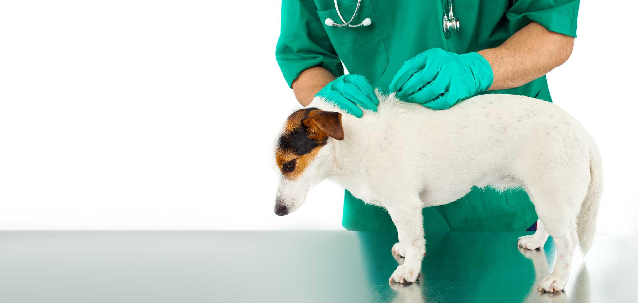 Vétérinaire qui vaccine un chien. Clinique vétérinaire Lachine