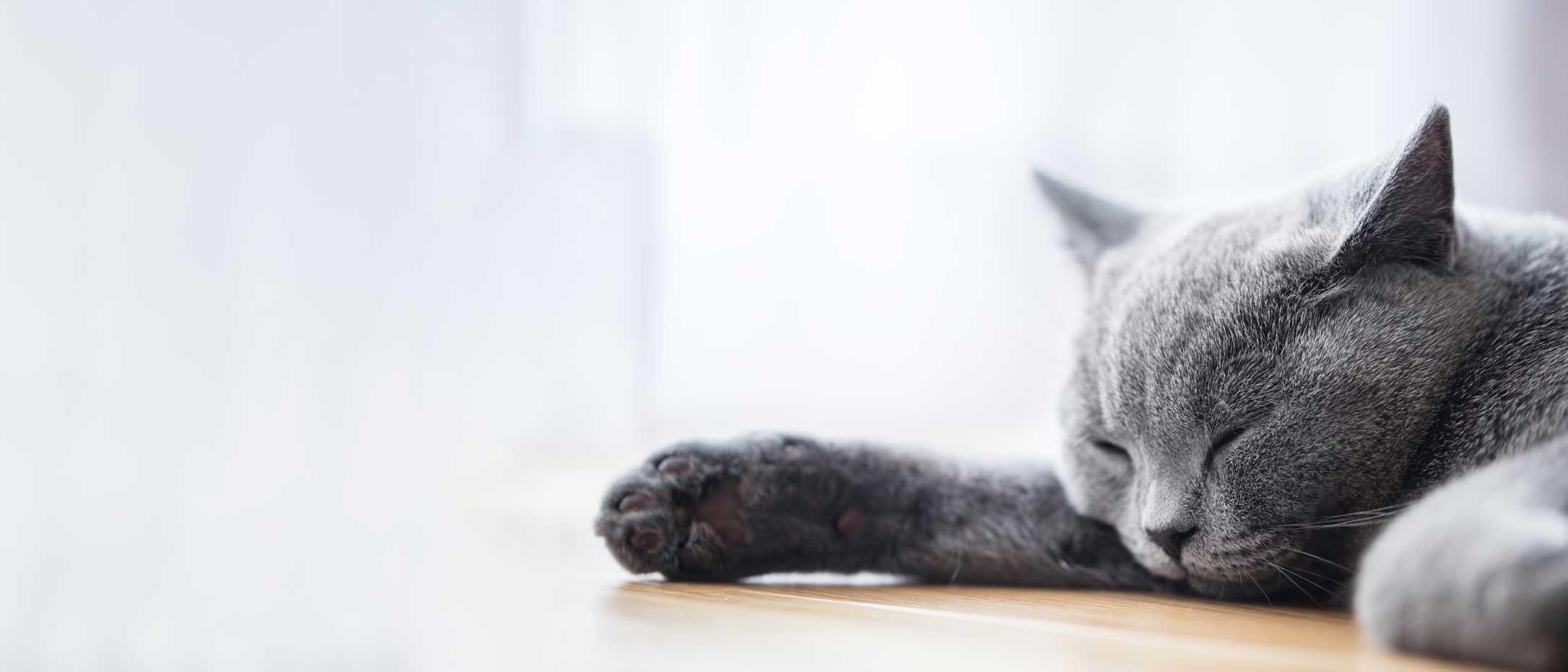 Un chaton gris couché. Clinique vétérinaire Lachine
